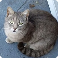 Domestic Shorthair Cat for adoption in Brooklyn, New York - Chia Lot o' Love!