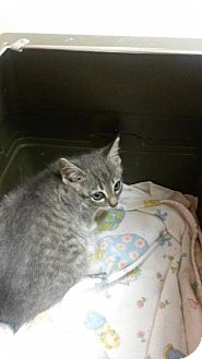 Domestic Shorthair Cat for adoption in Valley Park, Missouri - Hailey