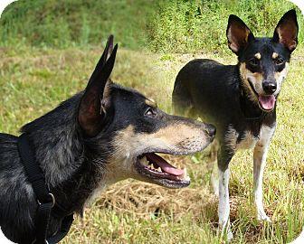 Rat Terrier/Shepherd (Unknown Type) Mix Dog for adoption in Waynesboro, Tennessee - Lizzie