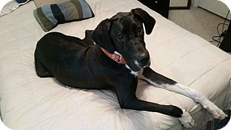 Great Dane Dog for adoption in Raleigh, North Carolina - Abbi