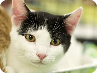 Domestic Shorthair Kitten for adoption in Great Falls, Montana - Charles