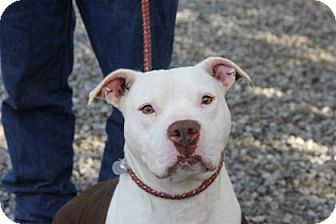Pit Bull Terrier Mix Dog for adoption in Greensboro, North Carolina - Bam Bam