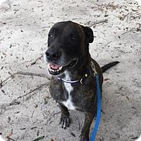 Adopt A Pet :: Dexter - Gainesville, FL
