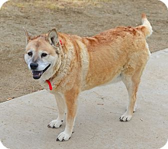 Chow Chow/Shepherd (Unknown Type) Mix Dog for adoption in Gardnerville, Nevada - Isabelle