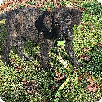 Australian Shepherd/Labrador Retriever Mix Puppy for adoption in Sagaponack, New York - Terasa