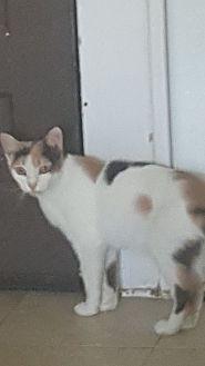 Calico Cat for adoption in Griffin, Georgia - Hope