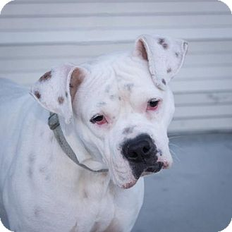 Boxer Mix Dog for adoption in Alameda, California - Stephano