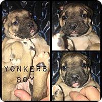Adopt A Pet :: Yonkers - Allen, TX