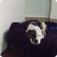 Adopt A Pet :: Roo - Lacey, WA
