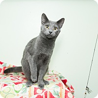 Russian Blue Cat for adoption in Chicago, Illinois - Eddie