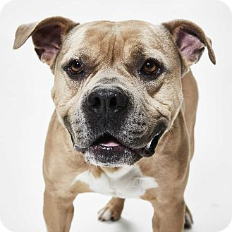 Pit Bull Terrier/Mastiff Mix Dog for adoption in Dallas, Texas - Payne - Guest Dog