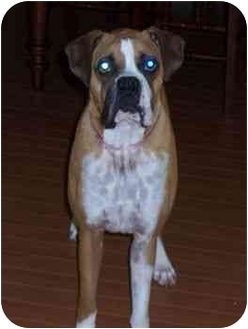 Boxer Dog for adoption in Thomasville, Georgia - Goober
