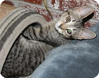 Domestic Shorthair Cat for adoption in North Highlands, California - Relay