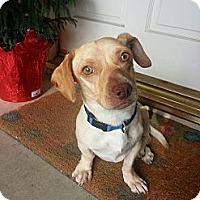 Adopt A Pet :: Cannonball - Anaheim, CA