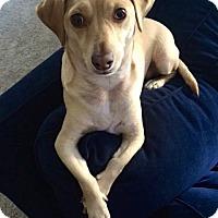 Adopt A Pet :: Tanner - La Habra Heights, CA