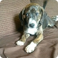 Adopt A Pet :: Reese - Somers, CT