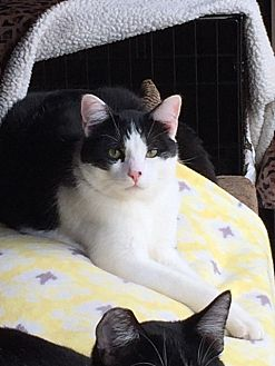 Domestic Shorthair Cat for adoption in Long Beach, California - Clyde