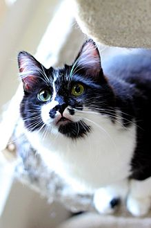 Domestic Longhair Cat for adoption in Los Angeles, California - Figaro