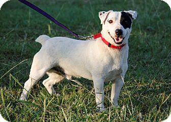 Jack Russell Terrier Dog for adoption in Dallas/Ft. Worth, Texas - Hubert in Denton