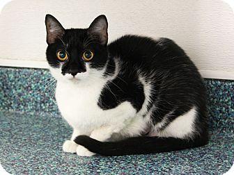 Domestic Shorthair Cat for adoption in Long Beach, California - Lil Debbie