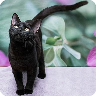 Domestic Shorthair Cat for adoption in Houston, Texas - Cato