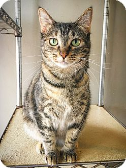 Domestic Shorthair Cat for adoption in Fredericksburg, Texas - Jessa