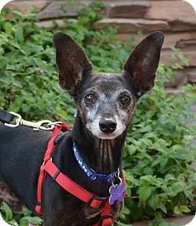 Rat Terrier/Miniature Pinscher Mix Dog for adoption in Phoenix, Arizona - Peppy
