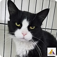 Domestic Mediumhair Cat for adoption in Eighty Four, Pennsylvania - Traci