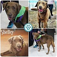 Adopt A Pet :: Shelley - Kimberton, PA
