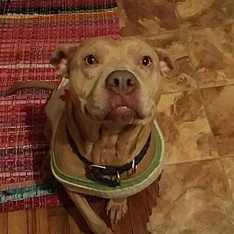 Pit Bull Terrier Dog for adoption in Northville, Michigan - COURTESY POST-STACY