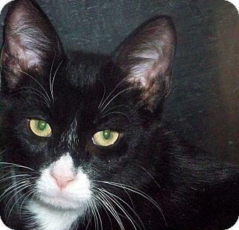 Domestic Shorthair Kitten for adoption in Secaucus, New Jersey - Big Bleu
