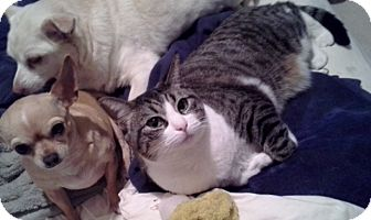 Domestic Shorthair Cat for adoption in Palmdale, California - Mona