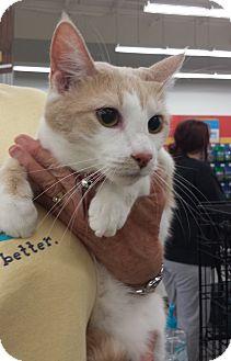 Domestic Shorthair Cat for adoption in Edmond, Oklahoma - Floppsy