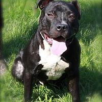Adopt A Pet :: Brady - Brookhaven, NY