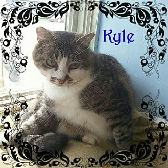 Domestic Shorthair Cat for adoption in New Richmond,, Wisconsin - Kyle