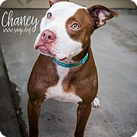 Pit Bull Terrier Mix Dog for adoption in Newport, Kentucky - Chaney