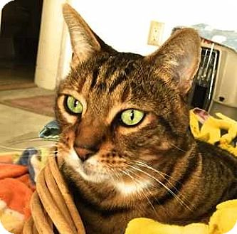 Bengal Cat for adoption in Davis, California - Kobi