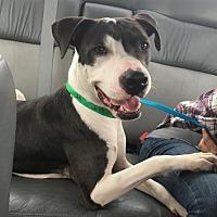 Adopt A Pet :: DIXIE 2 - Chandler, AZ