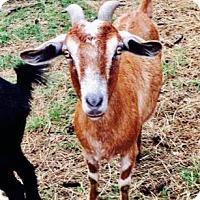 Adopt A Pet :: Shania - Freeport, FL