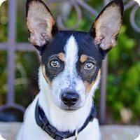 Adopt A Pet :: Rocky Balboa - Irvine, CA