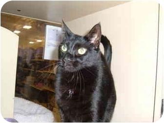 Domestic Shorthair Cat for adoption in No.Charleston, South Carolina - Sherlock