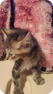 Domestic Shorthair Kitten for adoption in Tampa, Florida - Nova