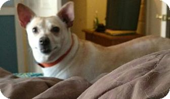 Corgi/Chihuahua Mix Dog for adoption in Alta Loma, California - Winnie