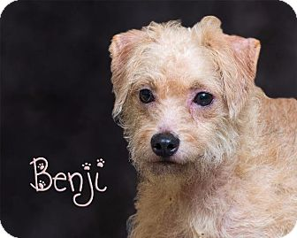 Terrier (Unknown Type, Small) Mix Dog for adoption in Somerset, Pennsylvania - Benji