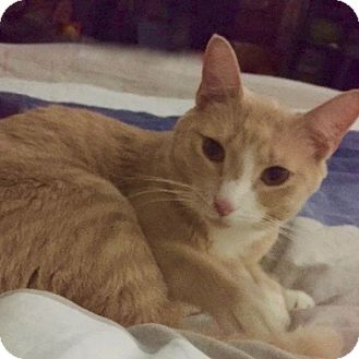 Domestic Shorthair Cat for adoption in Long Beach, New York - Melo