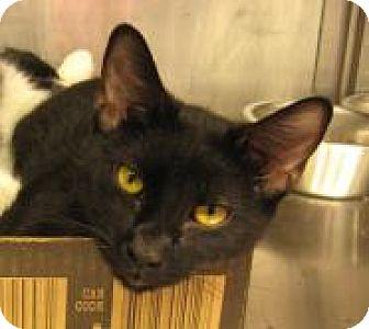 Domestic Shorthair Cat for adoption in Stillwater, Oklahoma - Sassy