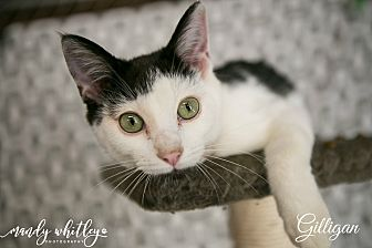 Domestic Shorthair Cat for adoption in Columbia, Tennessee - Gilligan