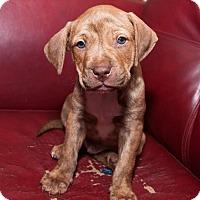 Adopt A Pet :: Abraham - Norman, OK