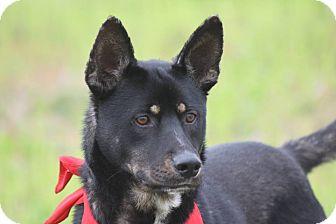 German Shepherd Dog Mix Dog for adoption in La Jolla, California - Toby