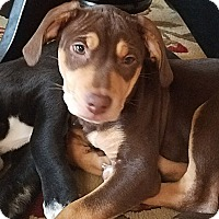 Adopt A Pet :: Puppy Patsy - Austin, TX
